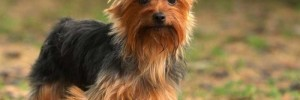 Йоркширский терьер — Yorkshire terrier