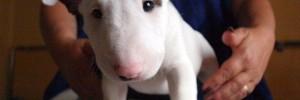 Бультерьер — Bull Terrier
