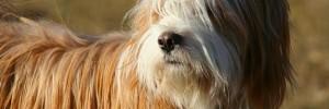 Тибетский терьер — Tibetan terrier