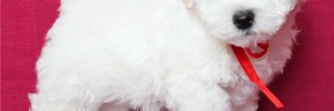 Бишон фризе — Bichon à poil frisé