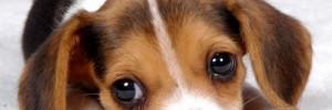 Бигль — Beagle