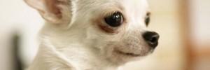 Чихуахуа — Chihuahua