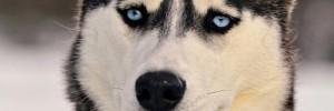 Хаски — Husky