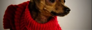 Русский той-терьер — Russian Toy Terrier