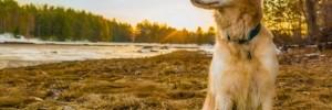 Голден Ретривер — Golden Retriever