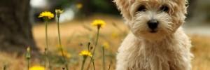 Той-пудель — Toy-Poodle