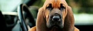 Бладхаунд — Bloodhound
