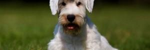 Силихем-терьер — Sealyham-Terrier