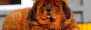 Тибетский мастифф — Tibetan Mastiff