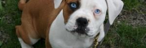 Американский бульдог — American Bulldog