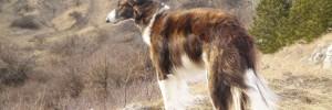 Русская борзая — Russian wolfhound