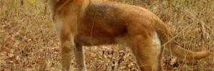 Русская гончая — Russian hound