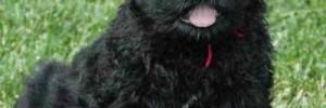 Русский чёрный терьер — Black Russian Terrier
