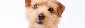 Норфолк-терьер — Norfolk terrier
