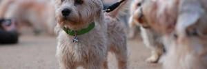 Денди динмонт терьер — Dandie Dinmont Terrier
