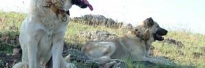 Турецкий кангал — Kangal dog