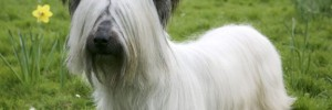 Скай терьер — Skye Terrier