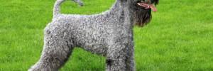Керри Блю Терьер — красивая Ирландская порода