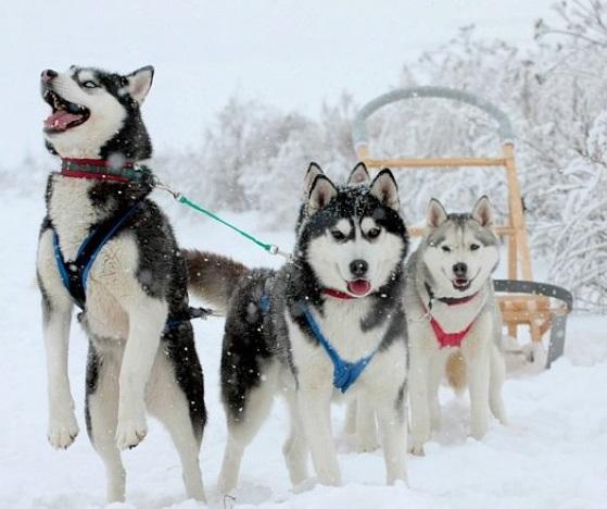 сибирский хаски порода собак