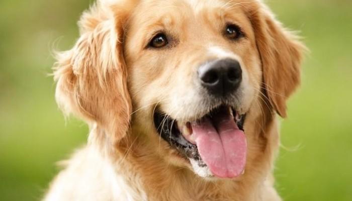 голден ретривер порода собак