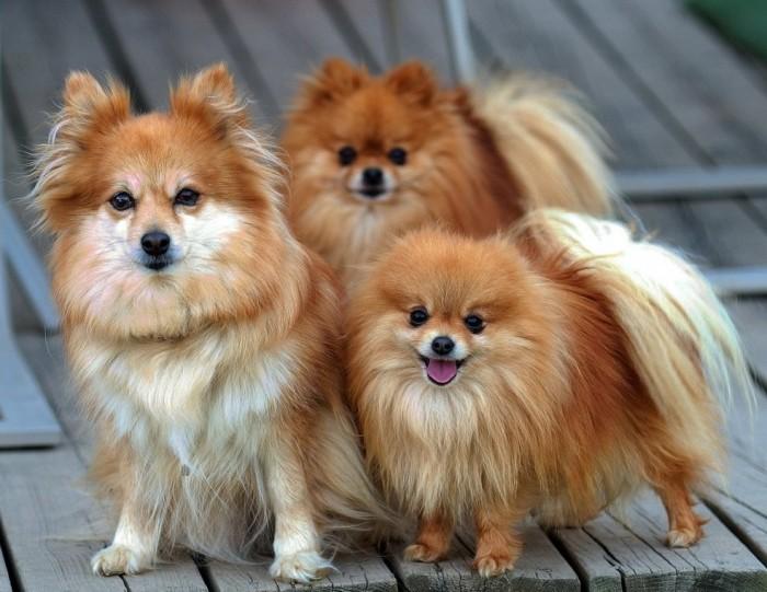 Помераниан порода собак