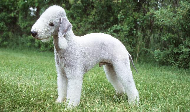 Бедлингтон-терьер порода собак
