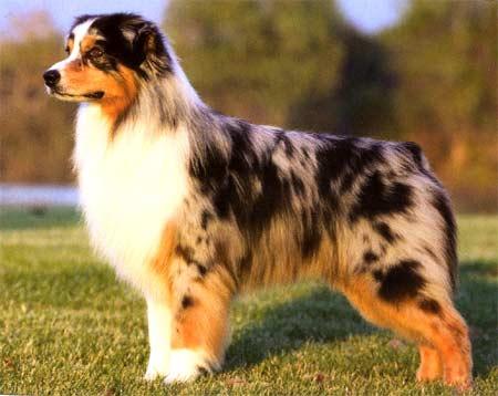 Австралийская овчарка порода собак
