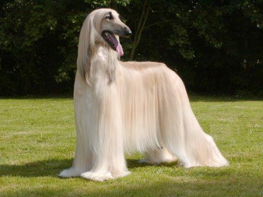 Афганская борзая порода собак