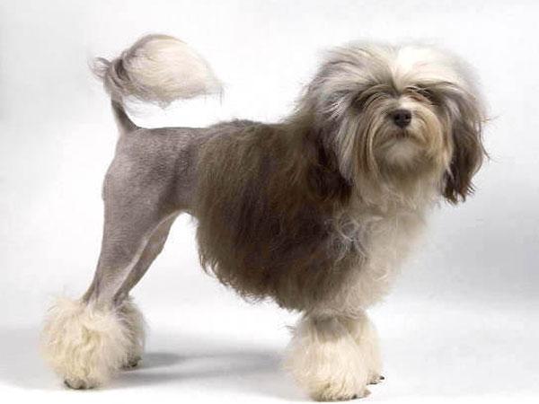 Лион-бишон порода собак