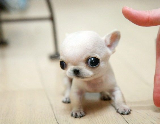 Чихуахуа маленький щенок