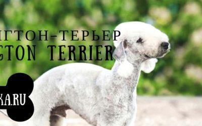 Бедлингтон терьер: история и описание породы собак