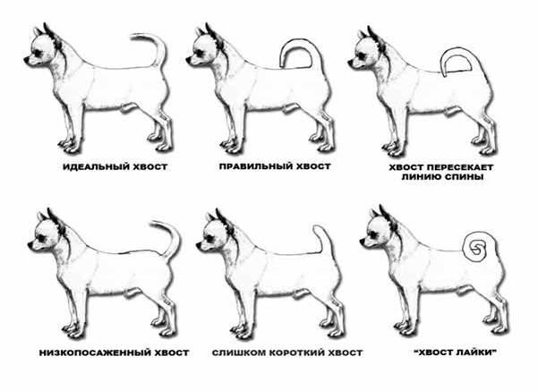 Разновидность хвоста у Чихуахуа