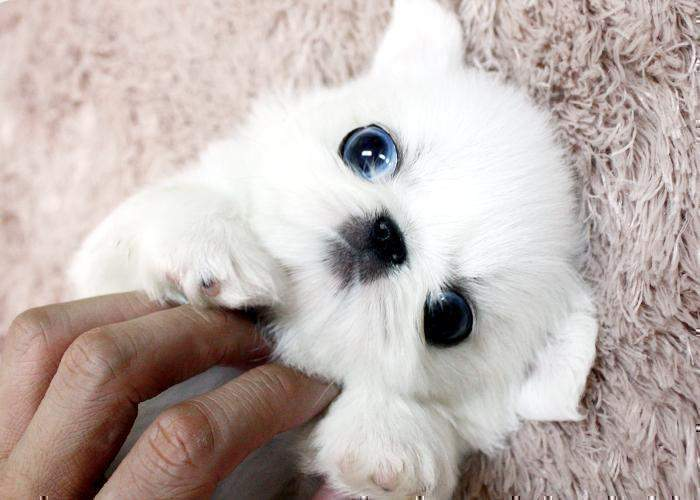 Pekingese Puppies Are For Sale In Australia With Pups For ...