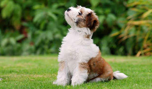 Тибетский терьер порода собак