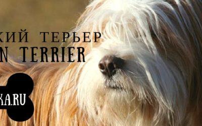Тибетский терьер: история, описание и характер породы собак