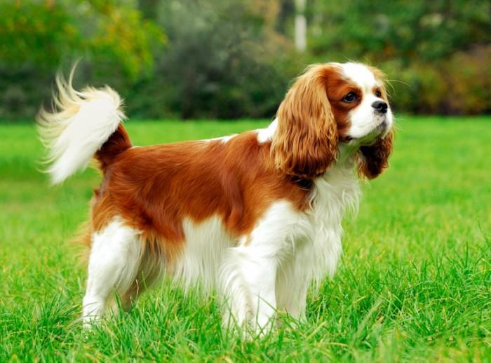 Кинг Чарльз Спаниель порода собак