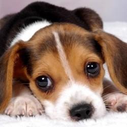 Бигль порода собак
