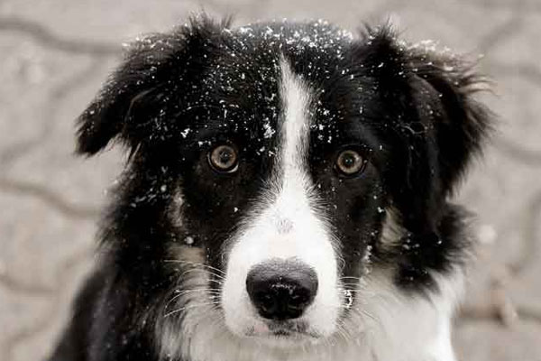 Бордер-колли порода собак