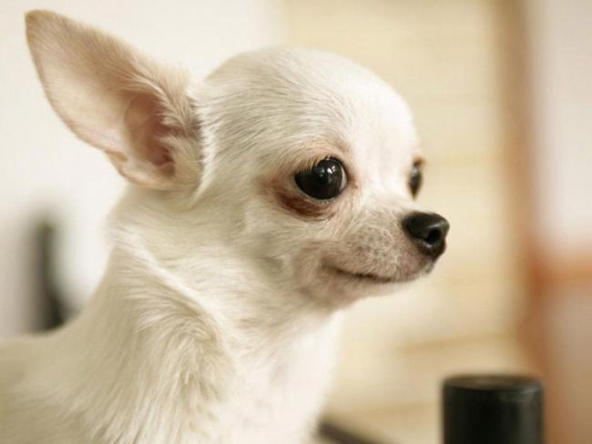 Чихуахуа взгляд собаки