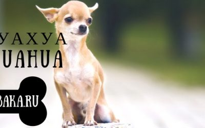 Описание породы собак Чихуахуа