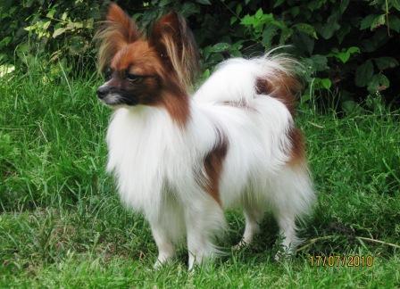 Папильйон порода собак