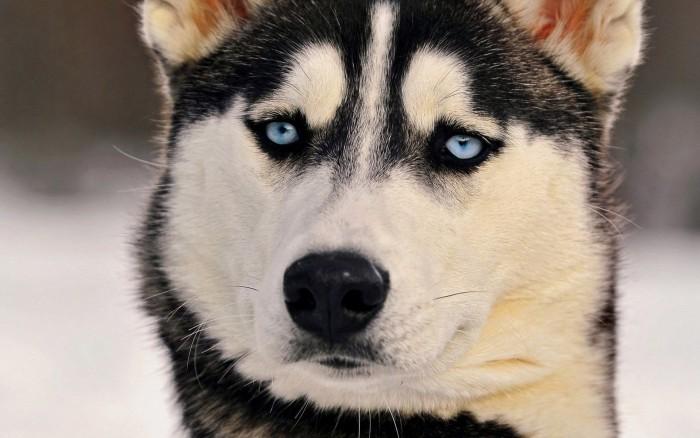 Хаски порода собак