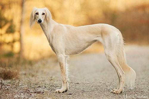 Салюки порода собак