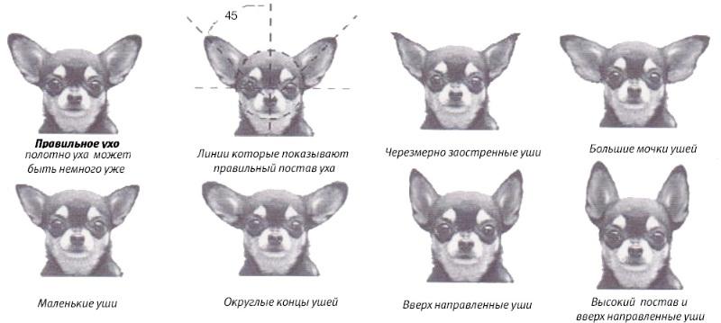 Чихуахуа разновидность ушей