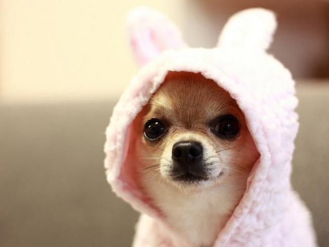 Красивая собака Чихуахуа