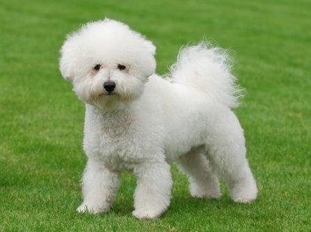 Бишон Фризе порода собак