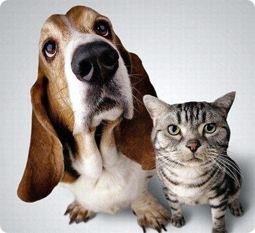 Приучаем собаку к кошке
