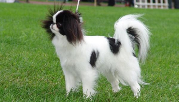 японский хин собака