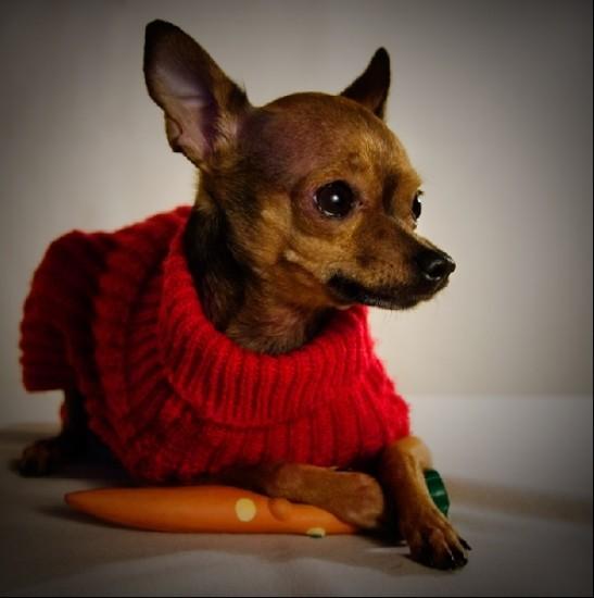 Русский той-терьер порода собак