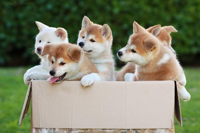 Акита-ину порода собак